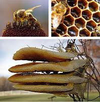 Sarang Lebah Madu